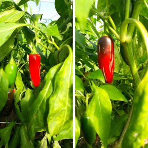 Red Jalapeno