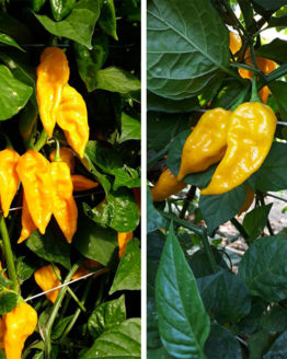 Yellow Fatalii